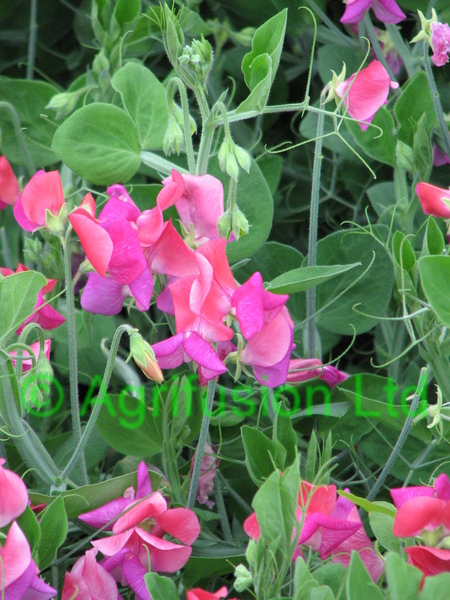 Sweet Pea Cupid Cherry