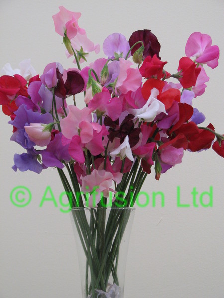 Sweet Pea Solstice Mix Vase