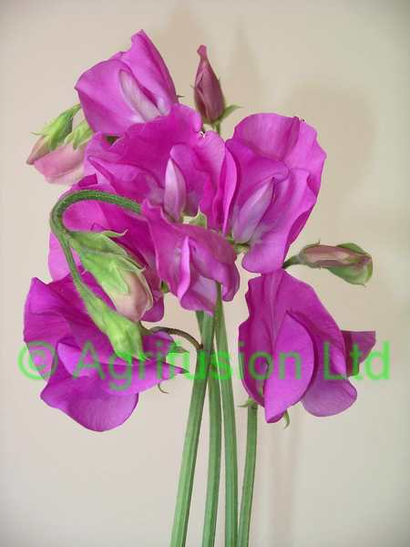 Sweet Pea Solstice Orchid
