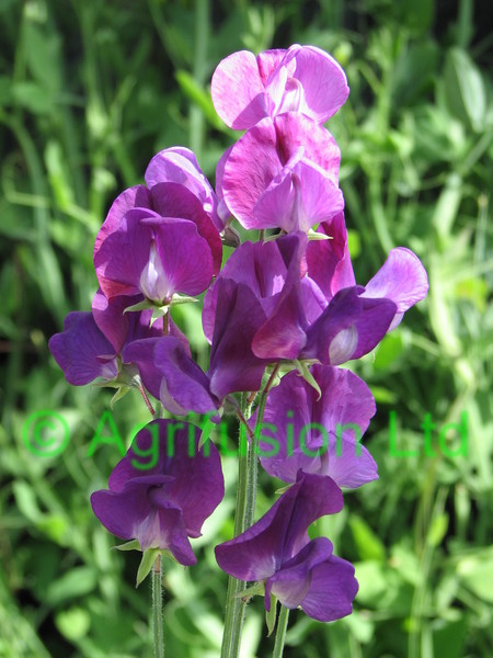 Sweet Pea Captain of the Blues