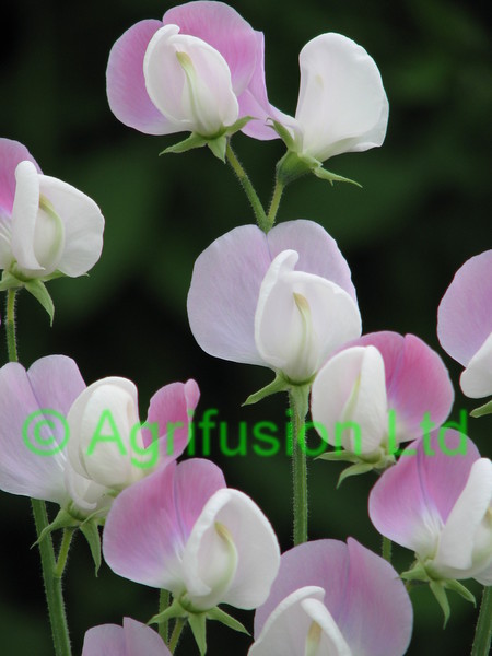 Sweet Pea Duke of York
