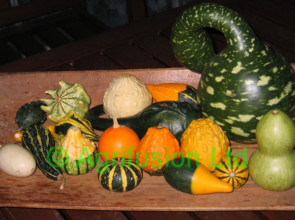 Ornamental Gourd - Warts and All