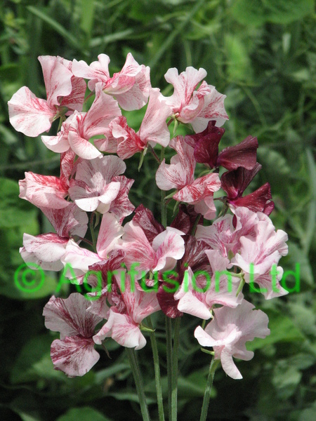 how to get seeds from sweet peas
