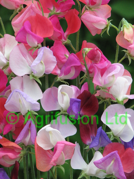 Sweet Pea Heirloom Bicolour Mix