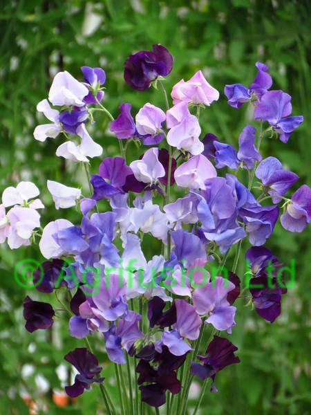 Sweet Pea Blue Shades