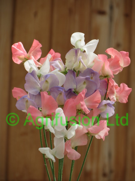 Sweet Pea Loving Memories