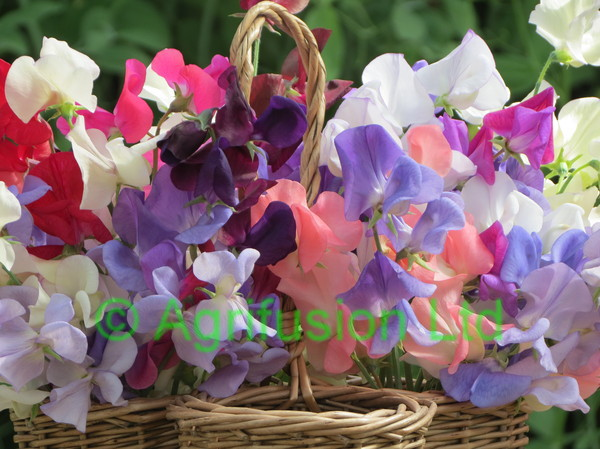 Sweet Pea Perfect Harmony