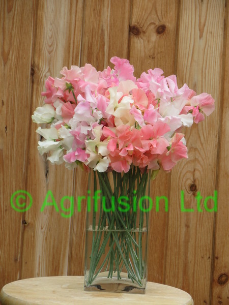 Sweet Pea A Touch of Pink