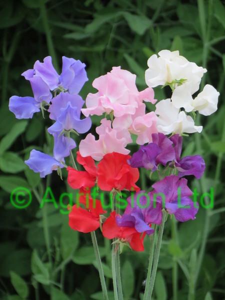 Sweet Pea Champion 5