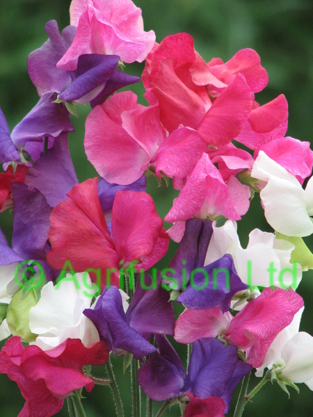Sweet Pea Cut Flower Mix