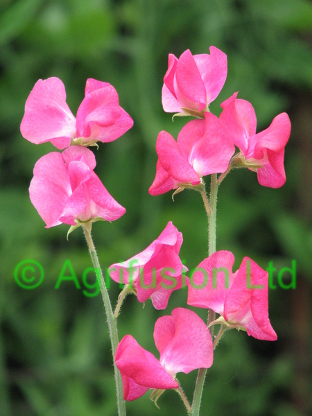 Sweet Pea Mammoth Deep Rose