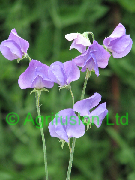 Sweet Pea Mammoth Mid Blue