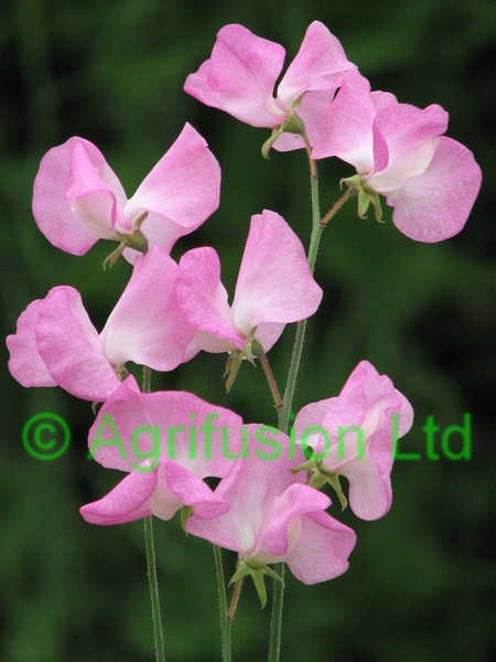 Sweet Pea Mammoth Rose Pink