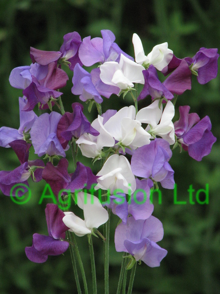 Other Sweet Pea Mixes