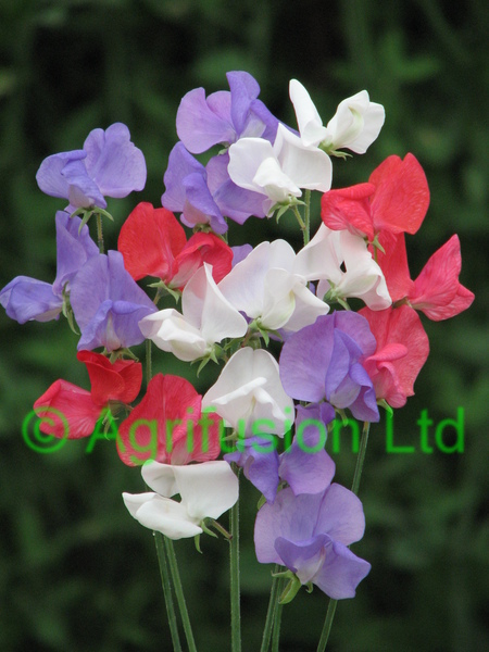Sweet Pea Royal Match
