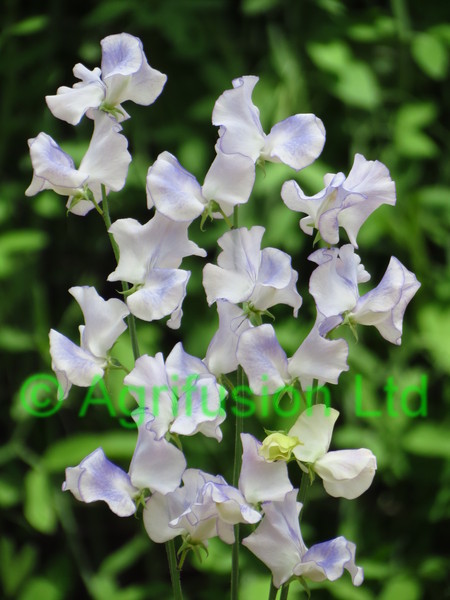 Sweet Pea Betty Maiden