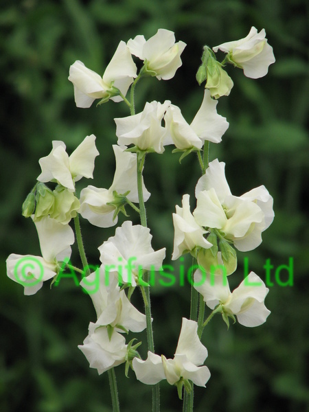 Sweet Pea Lunar Sea