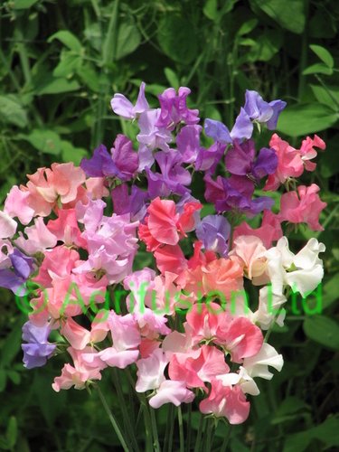 Sweet Pea Pastel Sunset