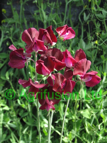 Sweet Pea Beaujolais