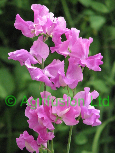 Sweet Pea Eclipse