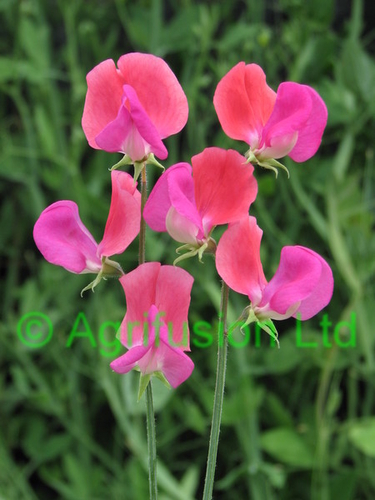 Sweet Pea Prince Edward of York
