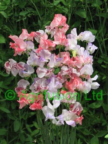 Sweet Pea Ripple Mix