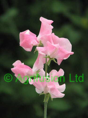 Sweet Pea Mrs Bernard Jones