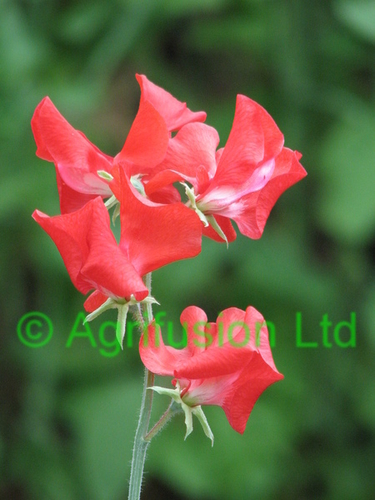 Sweet Pea Red Ensign