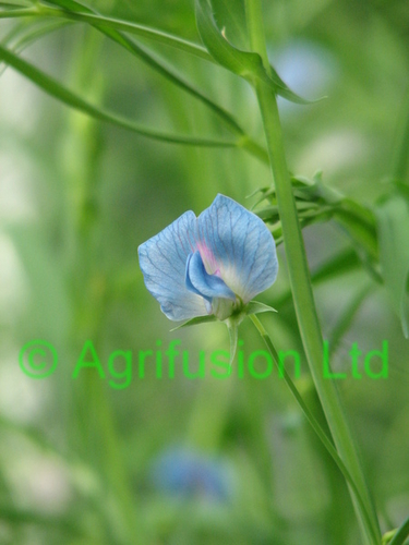 Lathyrus sativus blue