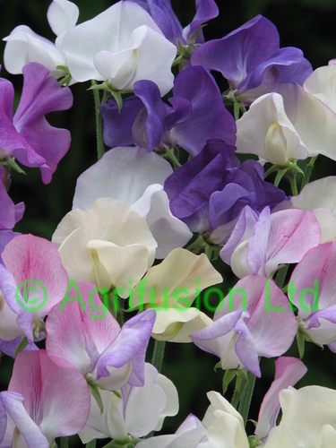 Sweet Pea Breath of Fresh Air