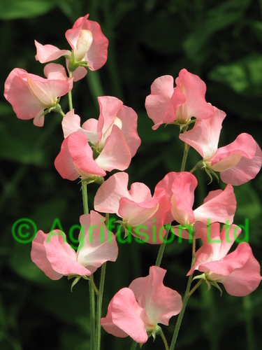 Sweet Pea Watermelon