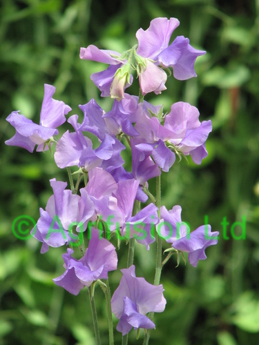 Sweet Pea Big Blue