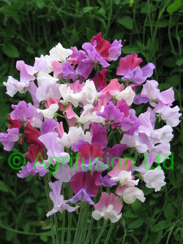 Sweet Pea Counterpoint