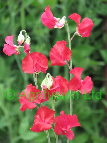 Sweet Pea Mammoth Crimson