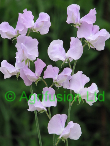 Sweet Pea Mammoth Lavender
