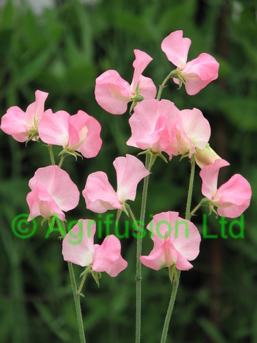 Sweet Pea Mammoth Salmon Cream Pink