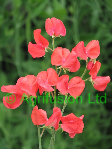 Sweet Pea Mammoth Scarlet