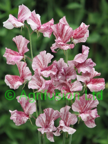 Sweet Pea Sir Henry Cecil