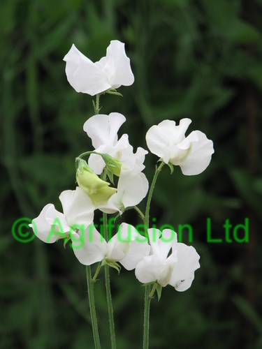Sweet Pea Mammoth White