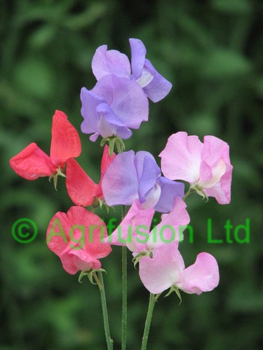 Sweet Pea Royal Selection