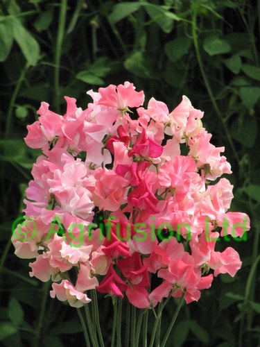 Sweet Pea Pink Profusion