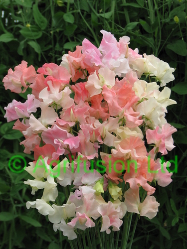 Sweet Pea Frills & Blushes