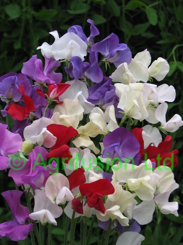 Sweet Pea Summer Scent