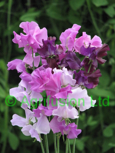Sweet Pea Whisper Blue