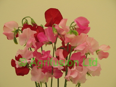 Sweet Pea Solstice Rosy mix