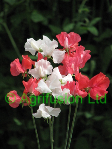 Sweet Pea St George Cross