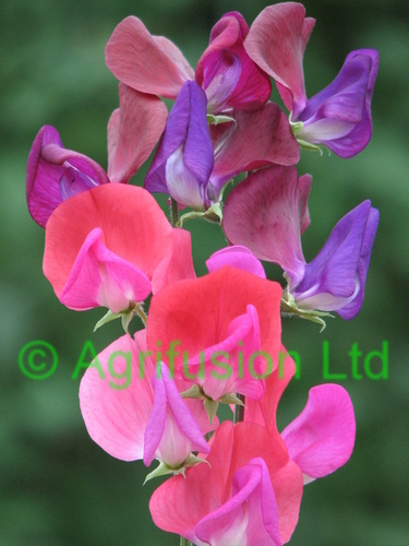 Sweet Pea Jewel