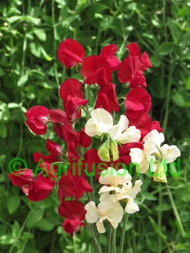 Sweet Pea Crimson Cream