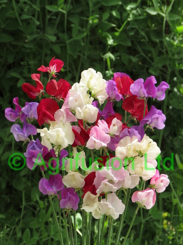 Sweet Pea Wild Orchid
