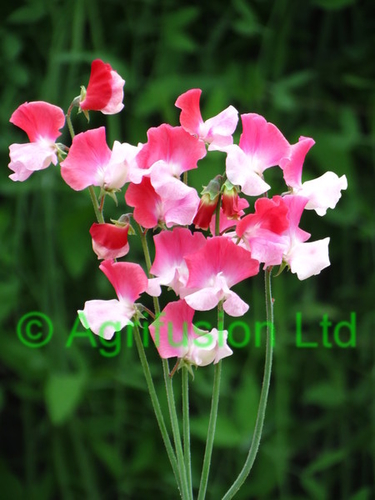 Sweet Pea Two Tone